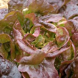 Lettuce - Grenadine Red