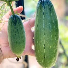 Luffa Cylindrica (3)