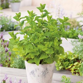 Herb Plant - Moroccan Mint