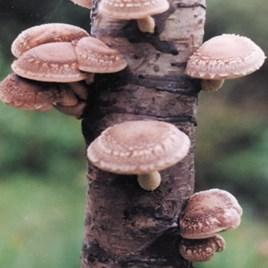 Mushroom Plugs - Shiitake Mushrooms 30 spawn plugs