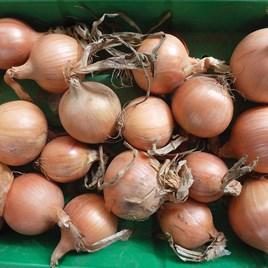 Onion Sets - Hysky