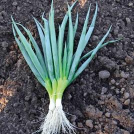 Onion Ishikura
