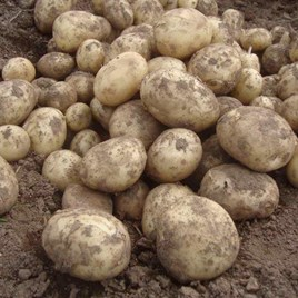 Seed Potatoes - Second Cropping - Gemson 1kg