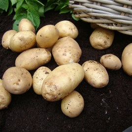 Seed Potatoes - Home Guard 1kg
