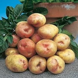 Seed Potatoes - King Edward 1kg