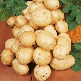 Seed Potatoes - Second Cropping - Carlingford 1kg