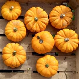 Squash & Pumpkin Jack Be Little