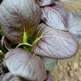 Spinach (Mustard) - Comred F1
