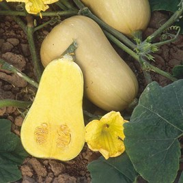 Squash & Pumpkin Butternut