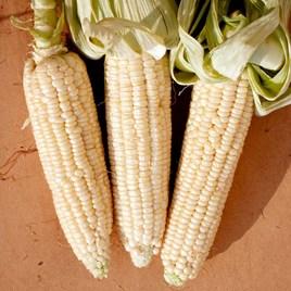 Sweet Corn Seeds - Stowell's Evergreen