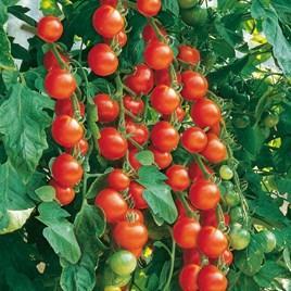 Tomato Seeds - Gardener's Delight  -