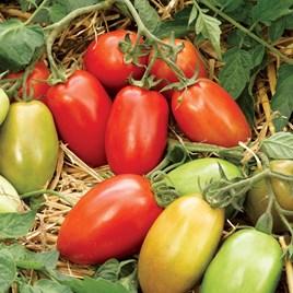 Tomato Seeds - Incas F1