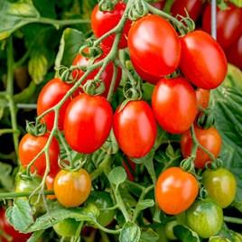 Tomato - Montello F1