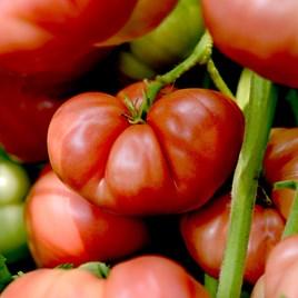 Tomato Seeds - Big Brandy