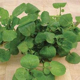 Leaf Salad Seeds - Watercress Aqua