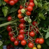 Tomato Candyland Red (3)