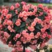 Begonia Sweet Spice English Rose (6)