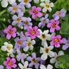 Bacopa Plants - Topia Mixed