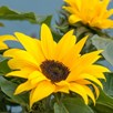 Sunflower Sunsation Yellow (10)