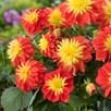 Dahlia Gardenetta Fireball