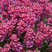 Diascia Aurora Dark PinkPlants