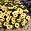 Osteospermum Blue Eyed Beauty Plants