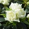 Azalea 'Romantic Lime Green'