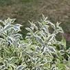 Buddleja Butterfly Gold Plants