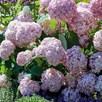 Hydrangea arborescens Candybelle Bubblegum