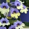 Streptocarpus Harlequin Blue 10cm Pot x 1