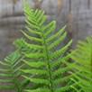 Fern Dryopteris Affinis 17cm Pot x 1