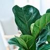 Ficus lyrata Compacta (Fiddle-leaf Fig) 9cm Pot x 1