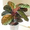 Calatheas Roseopicta Medallion 12cm Pot x 1