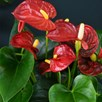 Anthurium Aqua Red in Sierglass 14cm Pot x 1