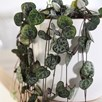 String of Hearts Ceropegia Woodii