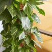Epipremnum (Devil'S Ivy) Scindapsus Aureum