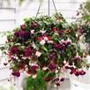 Fuchsia Trailing Pre-Planted Baskets