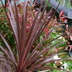 Cordyline Red Star - 7.5 Litre Pot