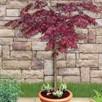 Acer palmatum Garnet Qtr Standard - 5 Litre Pot