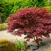 Acer Palm Bloodgood 120/140Cm - 25 Litre Pot