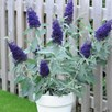 Buddleja Buzz Indigo 2 Litre Pot x 1