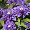 Clematis Multi Blue 2 Litre Pot x 1