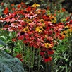 Echinacea Cheyenne Spirit 1 Litre Pot x 1