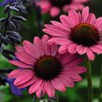 Echinacea Purpurea Little Magnus 1 Litre Pot x 1