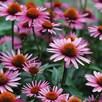 Echinacea Purpurea Rubinstern 1 Litre Pot x 1