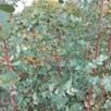 Eucalyptus Gunnii (Patio Standard)
