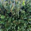 Laurus Nobilis Std 50cm Stem 20-25cm 16cm Pot x 1
