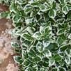 Euonymus Plant - Emerald Gaiety 7.5ltr x 1