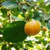 Sharon Fruit (Diospyros) Kaki Fuyu 2L Pot x 1