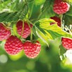 Raspberry (Rubus idaeus) Polka 3 Litre Pot x 1